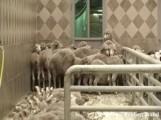 08_10_09-kuwait-abattoir-101-300x225