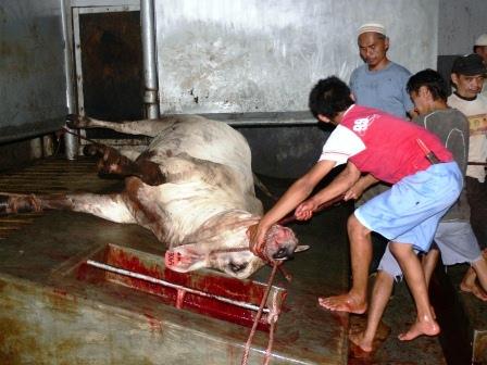 abused-australian-live-export-steer-slaughtered