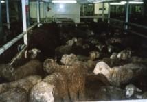 sheep_4_DB-credit-CIWF-300x210